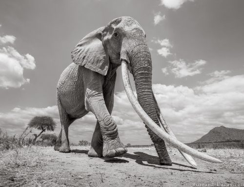 Rare photos capture the 'Elephant Queen' of Kenya.
