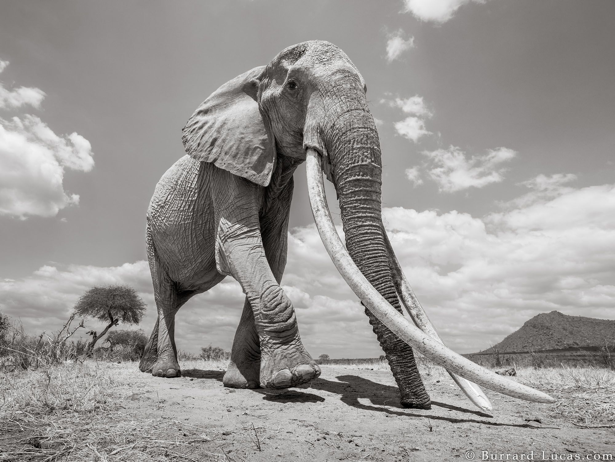 Rare photos capture the 'Elephant Queen' of Kenya.